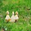 Three fluffy chicks - Stock Photo