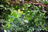 Cluster of blue grapes — Stock Photo