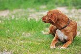 棕色的狗 — 图库照片