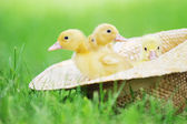 Fluffy ducklings — Stock Photo
