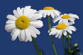 Daisy flowes isolated on blue — Stock Photo