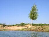 Young birch near summer lake — Stock Photo