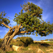 Stock Photo: Old carob tree