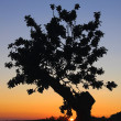 Sunset tree silhuette — Stock Photo