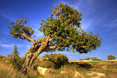 Old carob tree — Stock Photo