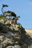 Proud wild goats — Stock Photo