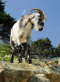 Proud wild goat — Stock Photo