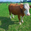 Cow on green meadow — Stock Photo