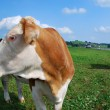 Cows on the meadow — Stock Photo