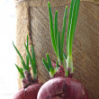 Germinated onions — Stock Photo