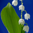 Lily of the valley - 图库照片