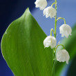 Lily of the valley — Stock Photo #2710423