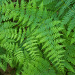 Fern - Stock Photo