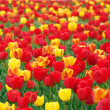 Colorful tulips — Stock Photo #2986962