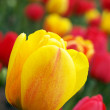 colorful tulips — Stock Photo #2986977