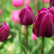 Colorful tulips — Stock Photo #2987183