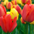Colorful tulips — Stock Photo #2994991