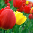 Red and yellow tulips — Stock Photo #2995006
