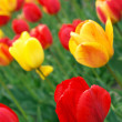 Red and yellow tulips — Stock Photo #2995020