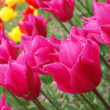 colorful tulips — Stock Photo #3003133