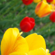Red and yellow tulips — Stock Photo