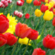 colorful tulips — Stock Photo #3004108