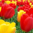 Royalty-Free Stock Photo: Red and yellow tulips