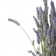 Stock Photo: Bunch of lavander