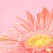 Pink gerbera close-up — Stock Photo