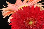 Kolorowe gerbery zbliżenie — Zdjęcie stockowe