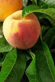 Perziken op bladeren — Stockfoto