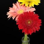 Colorful gerberas — Stock Photo #3830169