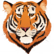 Royalty-Free Stock Vector Image: Tiger