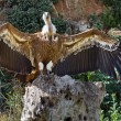 Stock Photo: Vulture, Griffon