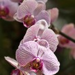 Orchid — Stock Photo #2697958