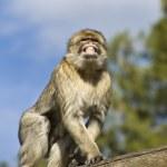 The Berberian Macaque — Stock Photo