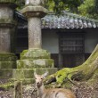 Deer in Kasuga Shinto Shrine - Stock Photo