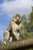 Berberian 猕猴 — 图库照片