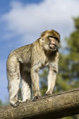 The Berberian Macaque — Stock Photo