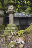Deer in Kasuga Shinto Shrine — Foto Stock
