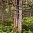 Pinetree in Austrian forest — 图库照片
