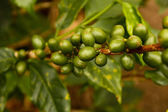 Coffee plants to mature — Stock Photo