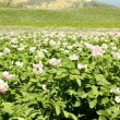 Stock Photo: Fields planted with potatoes in bloom
