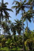 Palms. Tropical forest. Tayrona Colombia — Stock Photo
