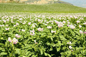 Fields planted with potatoes in bloom — Stock Photo