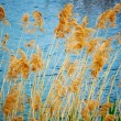 REEDS — Stock Photo #3514996