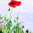 BLUE SKY and POPPY — Stock Photo