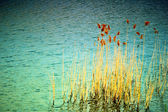 REEDS — Stock Photo