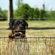 Watchful rottweiler — Stock Photo