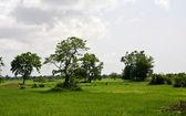 Rice paddy in Cambodia — Stock Photo